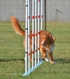 Nova Scotia Duck Tolling Retriever at a Dog Agility Trial. Nova Scotia Duck Tolling Retriever Weaving Through Poles at a Dog Agility Trial Royalty Free Stock Images