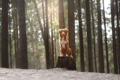 Nova Scotia Duck Tolling Retriever dog on nature in the forest Stock Photos