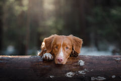 Nova Scotia Duck Tolling Retriever dog on nature in the forest Stock Image