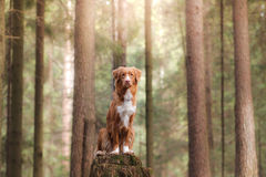 Nova Scotia Duck Tolling Retriever dog on nature in the forest Royalty Free Stock Image