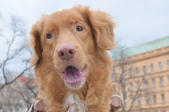 Nova scotia duck tolling retriever. With a dog out for a walk royalty free stock photography