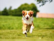 Nova Scotia Duck Tolling Retriever dog Stock Images