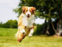 Nova Scotia Duck Tolling Retriever dog Stock Photos