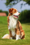 Nova Scotia Duck Tolling Retriever dog Royalty Free Stock Images