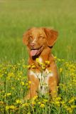 Nova scotia duck tolling retriever dog sitting in a flower field Royalty Free Stock Photography