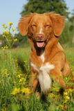Nova scotia duck tolling retriever dog sitting in a flower field Royalty Free Stock Image