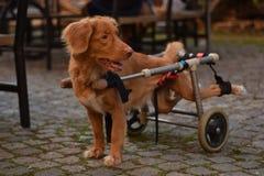 Nova scotia duck tolling retriever. Dog on wheelchair on a walk outdoors stock photos