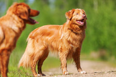 Nova Scotia Duck Tolling Retriever on a forest path. Two Nova Scotia Duck Tolling Retriever standing on a forest path Royalty Free Stock Image