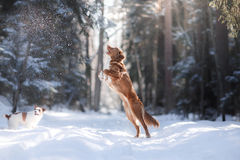 Nova Scotia Duck Tolling Retriever-het hoogspringen van de rassenhond in openlucht Royalty-vrije Stock Fotografie
