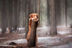 Nova Scotia Duck Tolling Retriever-hond op aard in het bos Stock Afbeeldingen