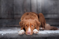 Nova Scotia Duck Tolling Retriever-Hund, der am hölzernen liegt lizenzfreie stockfotos