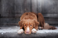 Nova Scotia Duck Tolling Retriever-Hund, der am hölzernen liegt stockfoto