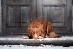 Nova Scotia Duck Tolling Retriever-Hund, der am hölzernen liegt stockbilder