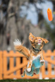 Nova Scotia Duck Tolling Retriever Jumping. A Nova Scotia Duck Tolling Retriever (or Toller) chasing after a toy in a dock jumping competition Stock Photo