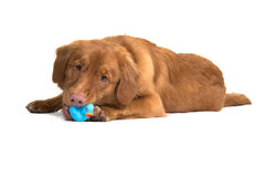 Nova Scotia duck tolling retriever lying down playing with a rubber toy Stock Image