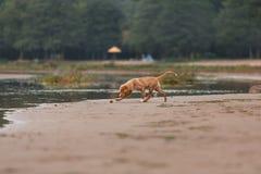 Nova Scotia Duck Tolling Retriever na praia Imagem de Stock Royalty Free