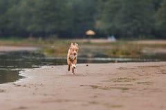 Nova Scotia Duck Tolling Retriever na praia Fotos de Stock