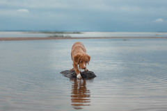 Nova Scotia Duck Tolling Retriever na praia Foto de Stock