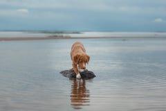 Nova Scotia Duck Tolling Retriever na praia Foto de Stock