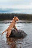 Nova Scotia Duck Tolling Retriever na praia Imagens de Stock