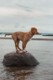 Nova Scotia Duck Tolling Retriever na praia Imagem de Stock Royalty Free