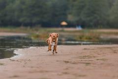 Nova Scotia Duck Tolling Retriever na praia Fotografia de Stock