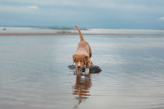 Nova Scotia Duck Tolling Retriever na praia Foto de Stock Royalty Free