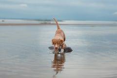 Nova Scotia Duck Tolling Retriever na praia Foto de Stock Royalty Free