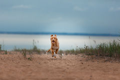 Nova Scotia Duck Tolling Retriever na praia Imagens de Stock Royalty Free