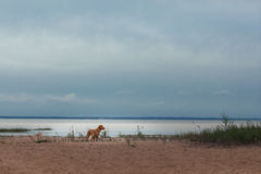 Nova Scotia Duck Tolling Retriever na praia Fotos de Stock Royalty Free