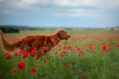 Nova Scotia Duck Tolling Retriever op een gebied van papavers Hond het spelen in de bloemweide stock foto's