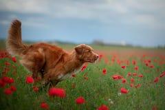 Nova Scotia Duck Tolling Retriever op een gebied van papavers Hond het spelen in de bloemweide royalty-vrije stock afbeelding