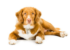 Nova Scotia Duck Tolling Retriever. Picture of a dog on a white seamless background stock image