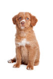 Nova Scotia Duck Tolling Retriever puppy Stock Images