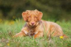 Nova Scotia Duck Tolling Retriever Puppy Stock Photography