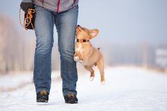 Happy toller puppy running outdoors in winter Stock Images