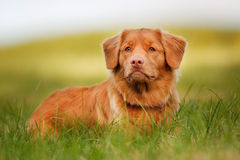 Nova Scotia Duck Tolling Retriever Stock Photography