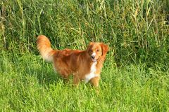 Nova scotia duck tolling retriever standing in the grass Royalty Free Stock Image