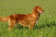 Nova scotia duck tolling retriever standing in the grass Royalty Free Stock Photos