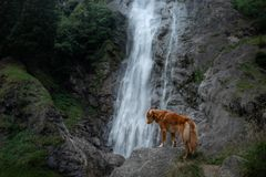 Free Nova Scotia Duck Tolling Retriever, Toller Standing On A Stone At The Waterfall. Dog Near The Water In Nature. Pet Travel Royalty Free Stock Photo - 150990545