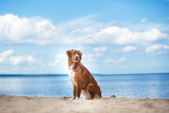 Nova Scotia Duck Tolling Retriever walking, playing on the beach in summer Stock Image