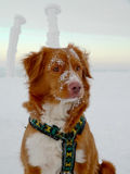 Nova Scotia Duck Tolling Retriever winter portrait Stock Image