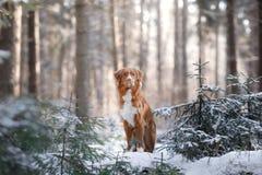 Nova Scotia Duck Tolling Retriever-Zucht des Hundes im Wald in der Natur, Wintersaison Stockfotos