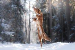 Nova Scotia Duck Tolling Retriever-Zuchthundehohes draußen springen Stockfotografie