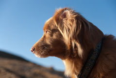 Nova Scotia Retriever portrait 2 Royalty Free Stock Photos