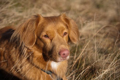 Nova Scotia retriever portrait Stock Photo