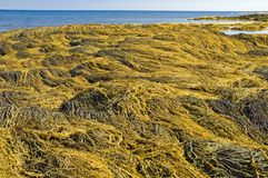 Nova Scotia seaweed royaltyfria foton