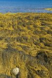 Nova Scotia seaweed Royaltyfria Bilder