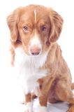 Nova Scotia toller Royalty Free Stock Photography