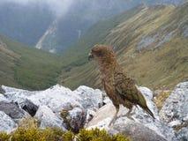 Nova Zelândia Kea na trilha de Kepler fotografia de stock